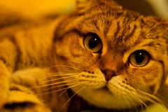 Cat (drpavloff) Tags: pet cats pets macro animals cat funny kitty cateyes animalplanet cutecat