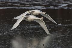 swan-2563