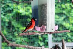 Red Siskin (yohanes_marsono) Tags: red finch siskin burung kenari kicauan
