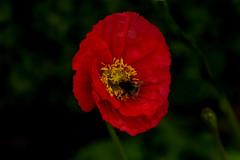 wwpw2013_9458.jpg (Janice McKenna | eyemac23 | photography) Tags: newzealand canon poppy wellington botanicalgardens aotearoa scottkelby worldwidephotowalk october2013