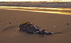 Seaweed & Fish on shore (Sterling67) Tags: seaweed beach sunrise boat rocks harbour shore vision:beach=062 vision:text=057