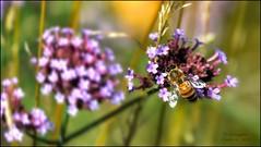 HONEY BEE AT THE NYBG, I (susies.genii) Tags: flower macro chrysanthemum nybg kiku newyorkbotanicalgarden bronxny outdoorgarden enidahauptconservatory october152013 artofthejapanesegarden kikuchrysanthemumshow