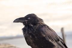 Raven (scrappydoggy) Tags: portrait bird animal canon yellowstone crow raven avian 24105 5dmarkiii