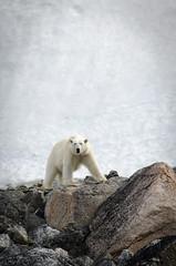 ice and rocks (daijithegeek) Tags: ice animal north svalbard polarbear polarcircle rocs ourspolaire