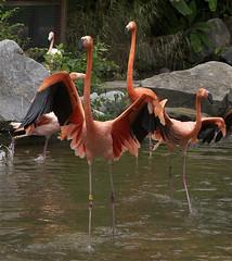 flamingo version of dancing with the stars (ucumari photography) Tags: bird sc garden zoo october south flamingo columbia carolina riverbanks 6873 specanimal ucumariphotography