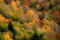 some fall colors... (Ferran.) Tags: autumn trees color fall colors forest catalonia arbres catalunya bosc tardor ripolles collada verda pardines 201311novembre04