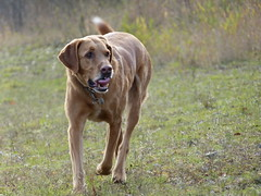 P1040915 (aishe's photography) Tags: dog mix labrador hund breed mygearandme