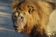 DSC_4228 (Arno Meintjes Wildlife) Tags: africa nature animal southafrica wildlife lion safari krugerpark pantheraleo arnomeintjes