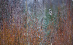 Northern Hawk Owl - Surnia ulula (L.Mikonranta) Tags: bird nature birds canon finland eos is hawk 300mm 7d owl l usm northern f28 ef surnia ulula muurame hiiripll canonef300mmf28lisusm canoneos7d rannankyl copyrightlm provinceofwesternfinland surulu vision:text=056 vision:outdoor=0915 vision:sky=0541