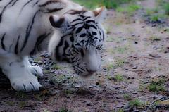 Tigre blanc 2 (H.benoit.photographie) Tags: zoo nikon animaux blanc tigre 70300 d7000