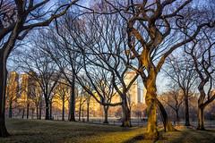 Elms (niznoz) Tags: park newyorkcity newyork sunrise centralpark manhattan central gothamist