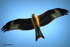 Red Kite (Ireland's Fauna-Dave McGrath) Tags: red kite avoca redkite redkiteireland
