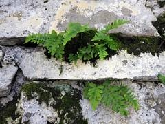 Invaders of Alcatraz (Ruth and Dave) Tags: sanfrancisco fern green stone wall nationalpark moss ruin prison alcatraz lichen penitentiary