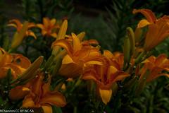 jdy206 BplEpl Bgr4Egr Blo RbgbYard Elo XX20110725a9174.jpg (rachelgreenbelt) Tags: usa 1955 maryland daylily northamerica greenbelt americas hemerocallis midatlantic floweringplants monocotyledons monocots irides xanthorrhoeaceae asparagales diploid orderasparagales divisionmagnoliophyta genushemerocallis midatlanticregion hemerocallisfranshals hemerocallisgenus hemerocallidoideae xanthorrhoeaceaefamily familyxanthorrhoeaceae hemerocallisfranshals1955diploidbrtrustorangebicolorcre rlcrec hemerocallidoideaesubfamily subfamilyhemerocallidoideae seedplantsspermatophytes brightrustorangebicolorcreamorangemidribonpetals