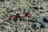 West African female purple Fiddler Crab filtering sand (Dave Montreuil) Tags: africa west beach female mouth sand hand purple balls crab feeder uca flats filter gambia marsh senegal mangroves crustacean bigger claws fiddler larger ocypodidae detritivore