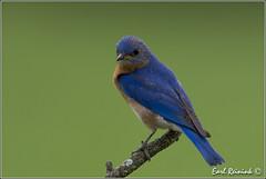 Eastern Bluebird (Earl Reinink) Tags: blue ontario canada nature nikon flickr niagara perch earl bluebird easternbluebird dunnville earlreinink reinink zhhaiuodha