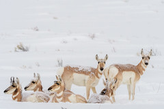 Antelope In The Snow (Amy Hudechek Photography) Tags: antelope wildlife nature winter snow covered mammal january wyoming cold amy hudechek national elk refuge