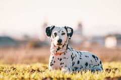Grassy Pitia (Leo Hidalgo (@yompyz)) Tags: pitia dálmata dalmatian dog animal perro castilla la mancha molinos de viento explore travel yompyz landscape