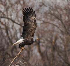 Eagle Take-off (Jan Crites) Tags: iowa leclaire nature river mississippiriver lockanddam14 eagle baldeagle americanbaldeagle raptor jancritesphotography february