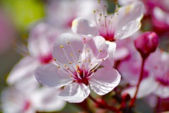 Pink Blossom (heathernewman) Tags: royalvictoriapark bath pink blossom flowers colour sunshine spring city urban nature park tree outdoor somerset england uk