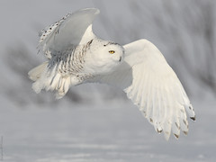 Harfang des neiges ♀ Snowy owl (Sylvain Prince) Tags: buboscandiacus