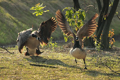 Goose Fight (Gator 5) Tags: geese fight wings feathers canadagoose scuffle toledobotanicalgardens