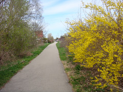 Forsythia (Larry the Biker) Tags: spring michigan trail forsythia vernal railtrail washingtontownship macomborchardtrail railstorails
