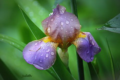 waiting for the rain to pass (judecat (it's all in the Nature of things)) Tags: iris raindrops mygarden