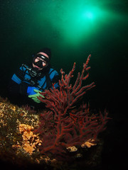 Diver and Gorgonian (NirupamNigam) Tags: underwater wideangle scubadiving southerncalifornia channelislands gorgonian anacapa kelpforest softcoral scubadiver californiadiving northernchannelislands