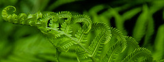 CYL-30 (AZDenney) Tags: green foliage ferns publicgardens conservatories arboretums