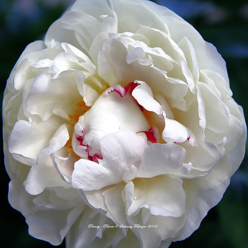 A lovely Peony for you!