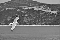 ...   ... (Love me tender .**..*) Tags: sea summer blackandwhite monochrome birds photography freedom fly greece panning seagles dimitra 2013 onboat nikond3100 flickrstruereflection1 kirgiannaki