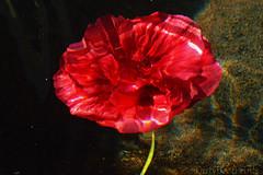 Drowning Flower (DirtyBootPrints) Tags: life light sun motion flower art love water beauty dark artistic obscure mediums