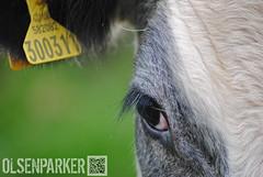 Eyecow (OlsenParker) Tags: summer portrait food sun white black macro cute green eye nature face animal hair happy cow close farm ear olsenparker