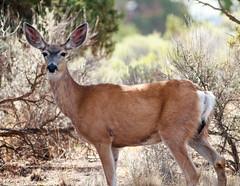 Mule Deer doe (Odocoileus hemionus): I'm All Ears (mirrorpondphotography.com) Tags: nature animals fauna oregon photography bend wildlife lakes deer deschutes american hatfield marsh ponds mammals mule