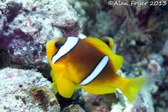 Anenome Fish (Alan Fryer) Tags: macro redsea egypt diving underwaterphotography anenomefish emperordivers dolphinhouse nikond700