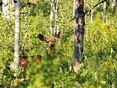 mule deer in aspens near strawberry 2013 (houstonryan) Tags: trees art print landscape photography utah driving photographer ryan houston roadtrip deer hidden photograph aspen mule northeastern houstonryan