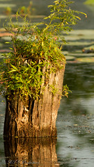 Cool Old Stump (Rick Smotherman) Tags: wood trees summer nature water leaves canon outdoors morninglight pond hiking august 7d buschwildlife canon300mmf4l canon7d canon14teleconverter