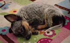 Butterscotch the 6 Week Old Female Australian Shepherd Mix Puppy (Immature Animals) Tags: sleeping arizona white black puppy carpet tucson tail australian ears az marshall pima derek bark pup aussie bandw butterscotch pacc