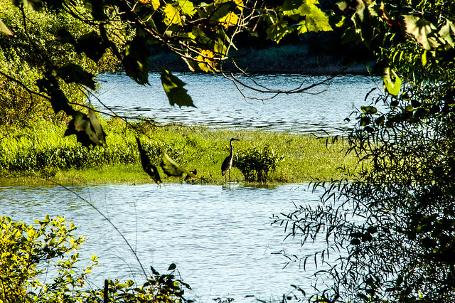 Crooked Creek - Great Blue Heron - September 2013