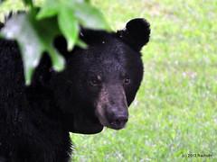 DSC_0090 (rachidH) Tags: bear nature wildlife nj sparta blackbear ours wildanimals rachidh