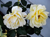A  couple of full blown roses in my garden (pat.bluey) Tags: flowers friends roses yellow pair australia newsouthwales 1001nights mygarden flickraward 1001nightsmagiccity hennysgardens sunrays5