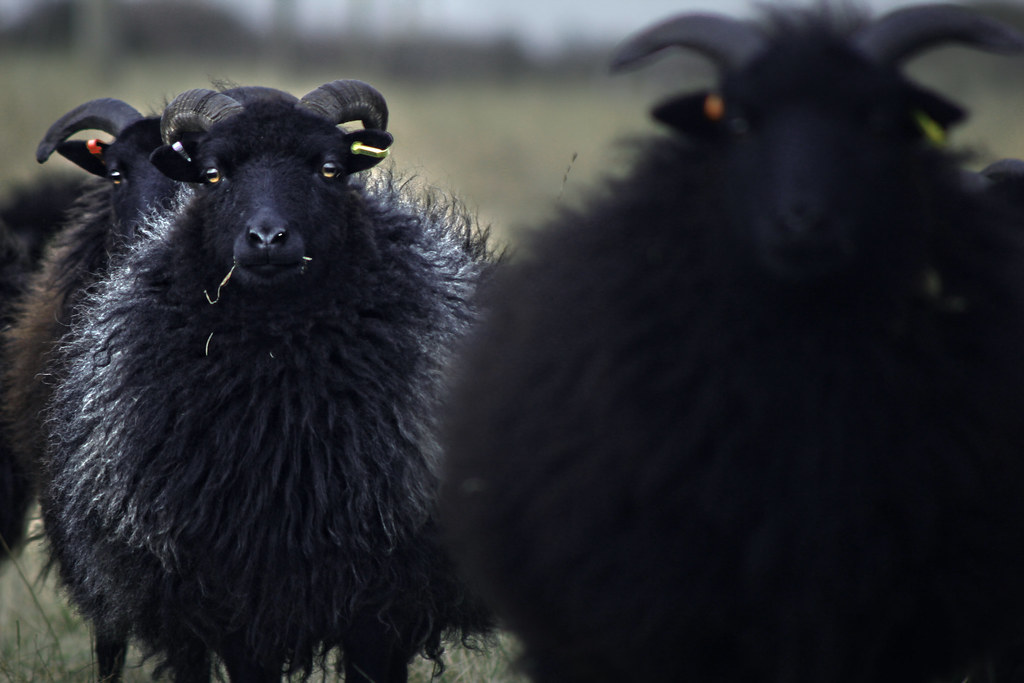 the worlds best photos of blackface and wool flickr