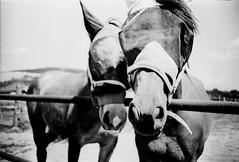 IMG_0013 (froher.ernst) Tags: old bw horse film analog diy kodak lomolca rodinal russian cyrillic pferd 1100 standdevelopment shootfilm standentwicklung horsephotography technipan
