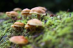 Small mushrooms (Christian Hacker) Tags: autumn green castle nature mushroom gardens closeup canon mushrooms eos scotland moss blurry focus dof close bokeh group perthshire scottish depthoffield fungi cap fungus blair 50d