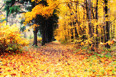 Golden Path (grce) Tags: park autumn nature leaves way alley path