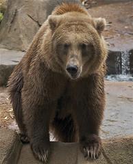 getting a closer look (ucumari photography) Tags: bear brown sc garden zoo oso october south columbia carolina grizzly riverbanks ursusarctos 2013 7071 specanimal ucumariphotography