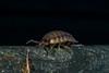 Woodlouse 02.11.13 (Myrialejean) Tags: macro exoskeleton crustacean isopod slater woodlouse creepycrawly woodbug cheeselog porcellioscaber heterotroph roughwoodlouse d7100 saprophage detritivore pleopod detritophage