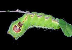Raupe Seidenspinner (planetvielfalt) Tags: lepidoptera schmetterlinge saturniidae