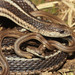 Lined Snake Mother and Babies